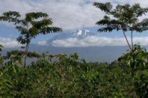 Tanzania-Coffee-Mt-Kilimanjaro-Region